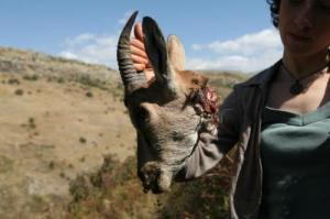 Armenia — Environmental activist Mariam Sukhudian holds up the torn head of a bezoar goat, Khosrov reserve, 18Sep2012
